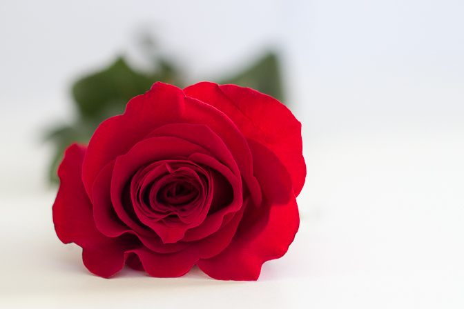 Red Rose Valentines Day